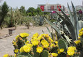 Cactus flowers in konak square izmir and municipality building on background Royalty Free Stock Photo