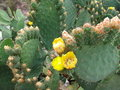 Cactus flowers of in peru Stock Photos