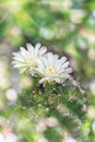 Cactus flowers on tree in soft mood sweet bokeh,Mila or closeup Royalty Free Stock Photo