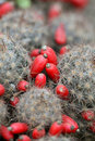 Cactus fruit Royalty Free Stock Photo