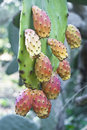 Cactus fruit prickly pears in sicilian country Royalty Free Stock Photography