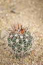 Cactus in garden with detail Stock Photography