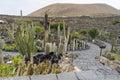 Cactus garden in lanzarote wide view of the jardin de designed by cesar manrique guatiza canary islands spain Stock Photo
