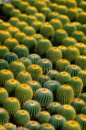 Cactus growing in the nursery Royalty Free Stock Image