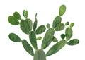 Cactus isolated on white Royalty Free Stock Photo