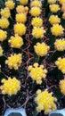 Cactus jaune Photos stock