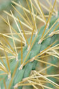 Cactus with long spines african sharp yellow Stock Photos