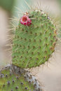 Cactus opuntia family with spikes flowers close up shot Stock Photo