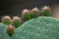 Cactus opuntia family with spikes shot close up Stock Photography