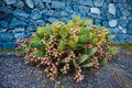 Cactus Opuntia with flowers on stones background