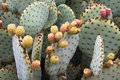 Cactus, Opuntia, Prickly pear Stock Image