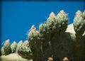 Cactus in the outdoor garden Royalty Free Stock Photo