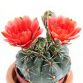 Cactus plant Royalty Free Stock Image