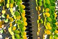 Cactus plant with green and yellow leaves alluaudia procera - closeup image Royalty Free Stock Photo