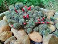 Cactus plant with red flowers bunch of small on a garden close up shoot Stock Photo
