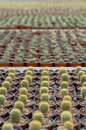 Cactus plantation top view of large group of potted Royalty Free Stock Photo
