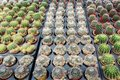 Cactus plants Royalty Free Stock Photo
