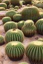 Cactus a plural cacti cactuses or is a member of the plant family cactaceae within the order caryophyllales the word Stock Photography