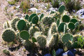 Cactus prickly bear Royalty Free Stock Photo