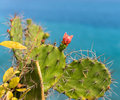 Cactus with red flower on blue sea background opuntia phaeacantha Royalty Free Stock Images