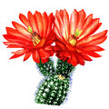 Cactus With Red Flower Isolate...
