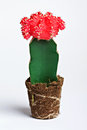 Cactus with red flower on white background Stock Photography