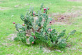Cactus in rio grande do sul brazil a plant with red flowers a farm of Royalty Free Stock Images