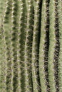 Cactus Spine Pattern Stock Photography