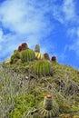 Cactus of st maarten caribbean naughty Stock Photo