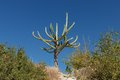Cactus on stony hill south turkey Royalty Free Stock Photography
