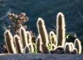 Cactus At Sunrise