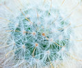 Cactus top view  shooting macro detail skin and fur soft Royalty Free Stock Photo