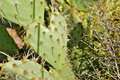 Cactus; Torrey Pines State Natural Reserve and Beach Royalty Free Stock Photo