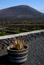 Cactus viticulture winery lanzarote spain la geria vine screw grapes wall crops cultivation Stock Photo