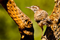 Cactus Wren Royalty Free Stock Photography
