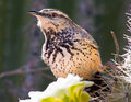 Cactus Wren feeding on a Saguaro Flower Royalty Free Stock Photography