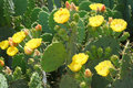 Cactus yellow blooming close up Royalty Free Stock Photos