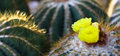 Cactus yellow flower Stock Photos