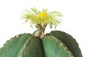 Cactus with yellow flower astrophytum asterias nudum Stock Photo