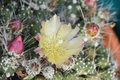 Cactus with yellow flower in a tropical garden Royalty Free Stock Photo