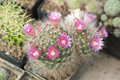 Cactuses pink blooms with open Stock Image