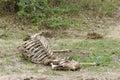Cadaver of antelope Royalty Free Stock Photo