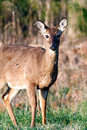 Cades cove deer a photographed in the early morning in great smoly mountains national park tennessee Stock Photos