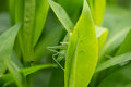 Caelifera on Leaves Royalty Free Stock Photo