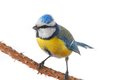 Caeruleus titmouse Stock Photo