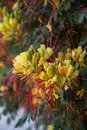 Caesalpinia Gilliesii Flowers Stock Photography