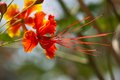 Caesalpinia pulcherrima tropical flowers brazilwood Royalty Free Stock Photo