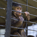 Caged baby baboon Royalty Free Stock Photos