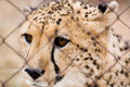 Caged cheetah Royalty Free Stock Photo
