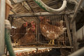 Caged chickens poultry farms in farm Royalty Free Stock Photos